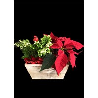 4_inch_frosty_fern_and_poinsettia_basket