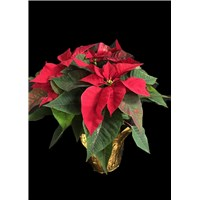 6_inch_gold_foil_poinsettia