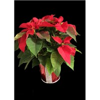 6_inch_red_container_designer_poinsettia