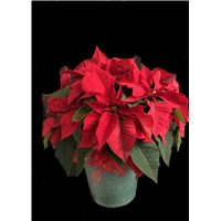 8_inch_poinsettia_green_container