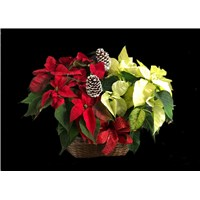 double_poinsettia_basket