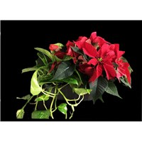 green_plant_and_poinsettia_basket
