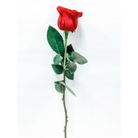 single_red_rose