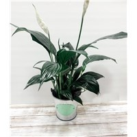 4_inch_peace_lily