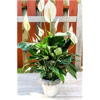 6_inch_peace_lily_basket